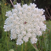 Queen Annes Lace Or Flower Jelly Recipe